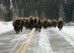 Yellowstone NP 34 – bison