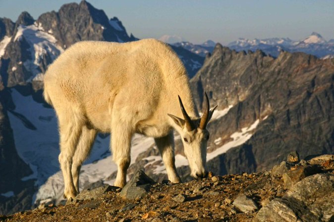A mountain goat on top of his world in Washington's Cascades National Park. Thanks to their specialized hooves and body shape, they can easily travel over the cliffs and mountains where few predators will follow. Photo by Andy Porter. Tweeted by the US Department of the Interior, 3/7/16.
