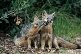 The US Government recently moved to upgrade the status of the Channel Island Fox from endangered to threatened, which is a major victory for those seeking to protect the three subspecies of island fox native to California's Channel Islands. Tweeted by the US Department of the Interior, 2/17/16.