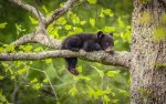 Great Smoky Mountains NP 39 – baby bear
