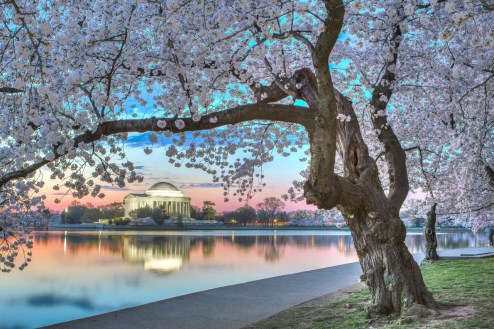 Blooming over the Tidal Basin like a gorgeous cloud, the cherry blossoms welcome over 1.5 million people to the National Mall during the annual National Cherry Blossom Festival. Over 3,800 trees color America's front yard with shades of white and pink. Walking among the blossoms and touring the memorials in Washington, D.C., is an experience you'll want to repeat. Photo by Andrew Rhodes. Posted on Tumblr by the US Department of the Interior, 3/28/16.