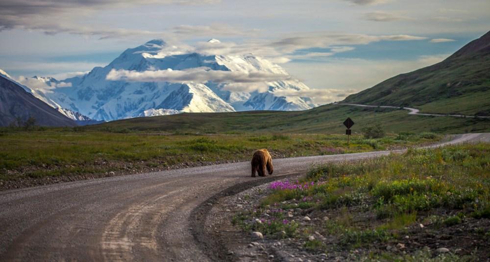 Denali NP 44 - bear