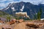 Glacier NP 54 – Mountain Goat