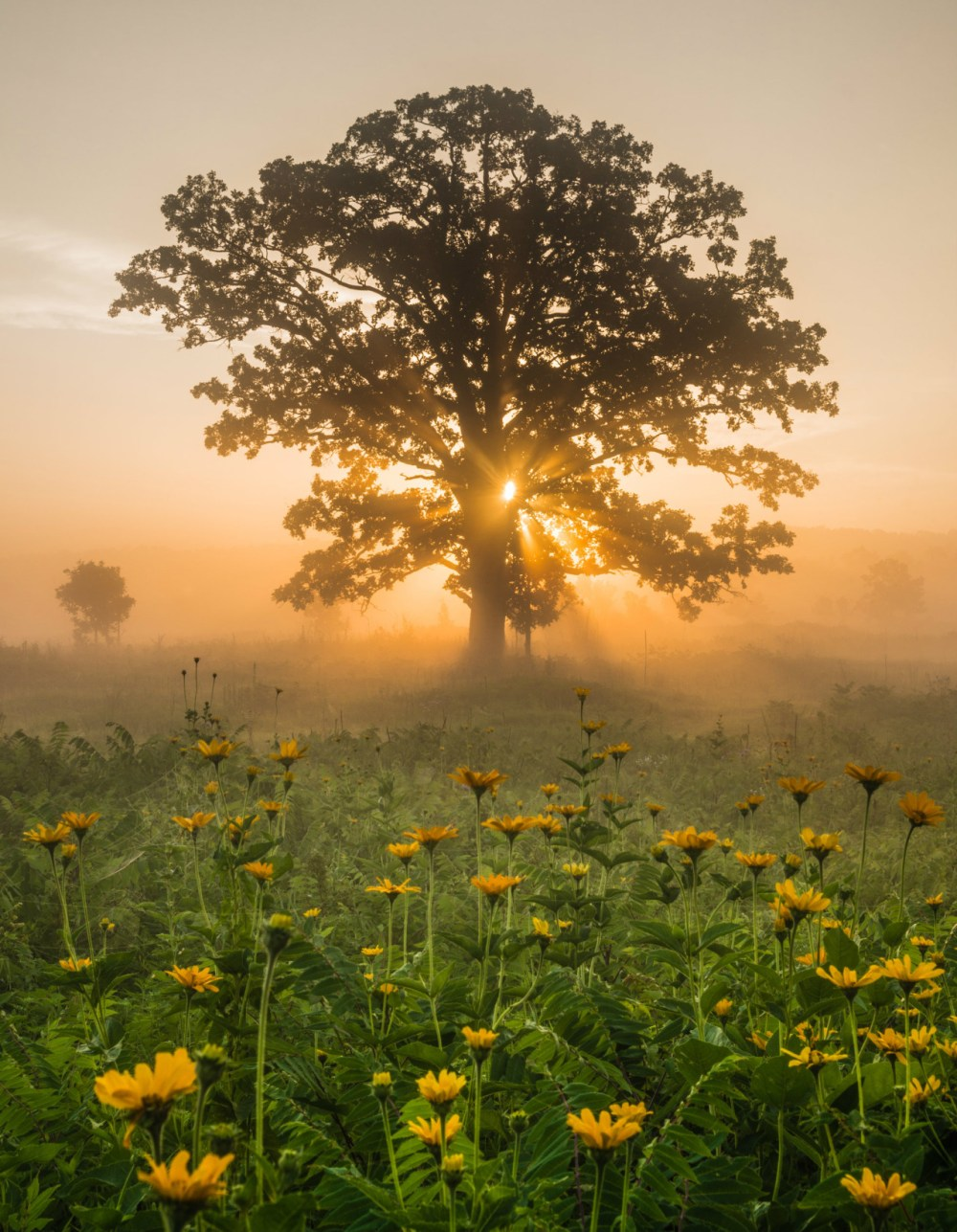 A brilliant summer sun rises over Minnesota Valley National Wildlife Refuge, shining golden light through the limbs of an old burl oak and burning away the morning fog. The refuge runs for almost 70 miles along the Minnesota River, providing visitors a unique opportunity to enjoy wildlife observation and recreation in the shadows of skyscrapers, grain elevators and towering trees. Photo by Erik Fremstad. Posted on Tumblr by the US Department of the Interior, 8/19/16.