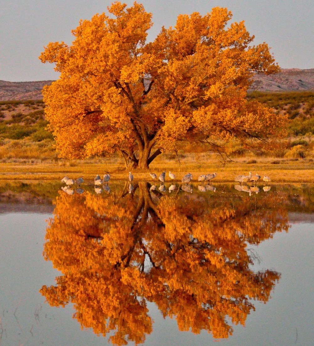Fall foliage lights up the lakeshore at Bosque del Apache National Wildlife Refuge in New Mexico. Along with changing leaves, late season sunflowers provide a colorful contrast to red-wing blackbirds that swoop and dart through grasses. The refuge protects a wide stretch of the Rio Grande river where sandhill cranes, geese and other waterfowl spend the winter each year. Photo by Robert Dunn. Posted on Tumblr by the US Department of the Interior, 10/7/16.
