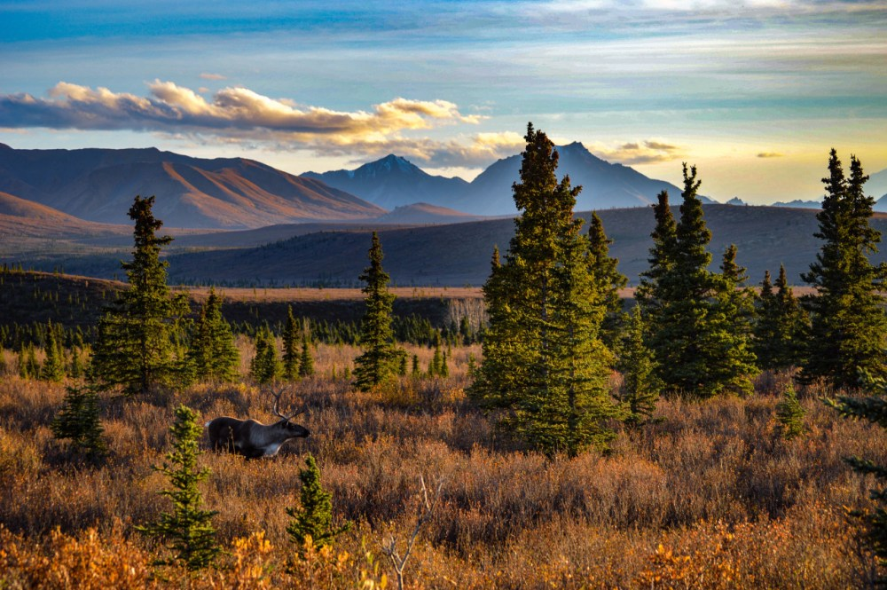 "Majestic mountain views, fall colors and epic wildlife are some of the many delights of visiting Denali National Park. Of this caribou strolling through the Alaskan tundra, photographer Nick Harrison says, ""He walked so soft and steady as if he was also taking in the beauty all around him. He was so calm – nothing disturbed him."" Photo by Nick Harrison. Posted on Tumblr by the US Department of the Interior, 10/14/16."