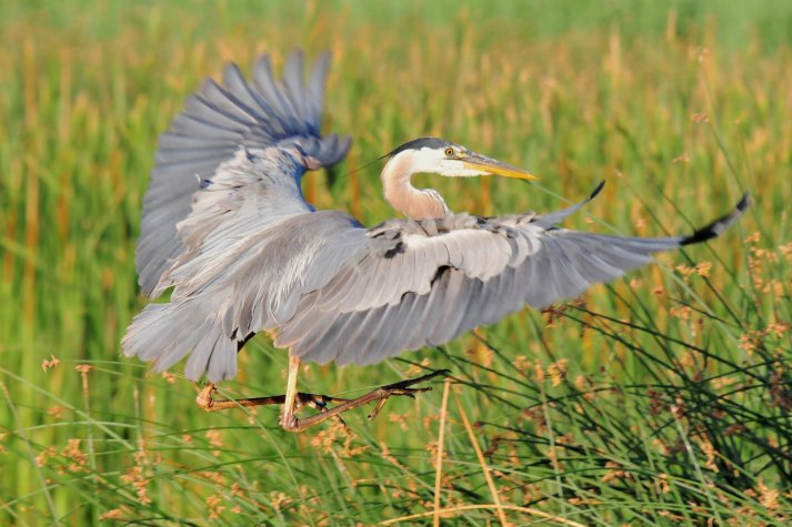 Great Blue Heron landing in a field of bullrush from the 2016 Bear River Photo contest. Photo by Ron Welker / USFWS. Tweeted by the US Fish & Wildlife Service, 11/30/16.