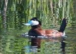 male-ruddy-duck