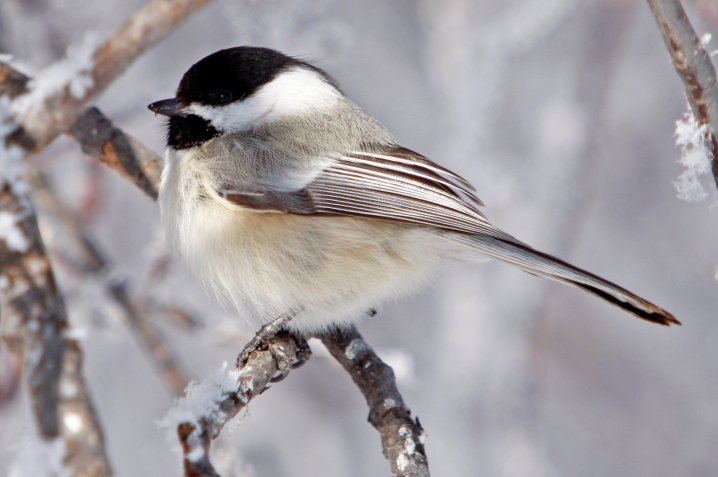 A black-capped chickadee is spotted one wintry morning at Rocky Mountain Arsenal National Wildlife Refuge. Photo by John Carr/USFWS. Tweeted by the US Fish & Wildlife Service, 1/2/16.