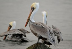 Brown pelicans on a rocky shoreline. Photo by Roy W. Lowe, U.S. Fish and Wildlife Service.