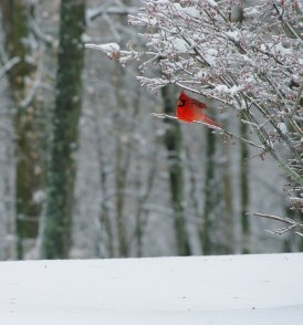 The northern cardinal doesn't migrate so their bright red makes for great winter photos. Photo by Jolie B Studios/CC. Tweeted by the US Fish & Wildlife Service, 1/2/16.
