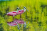 roseate-spoonbills