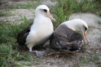 Many birds are monogamous, but Laysan Albatrosses mate for life. Young birds search for a mate with elaborate courtship dances. Once they hit breeding age, Albatrosses breed their entire lives, hatching and caring for one chick at least every other year. Pictured here is Wisdom -- the oldest living, banded, wild bird -- and her current mate at their nest at Midway Atoll National Wildlife Refuge. Photo by Pete Leary, USFWS. From the Department of the Interior blog, 2/13/17.