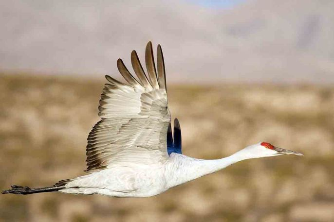 A sandhill crane soars over Bosque del Apache National Wildlife Refuge, 95 miles south of Albuquerque, New Mexico. Photo by Dwayne Longenbaugh. From the US Fish & Wildlife Service website.