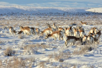 Pronghorn on Seedskadee National Wildlife Refuge. Photo by Tom Koerner/USFWS. Posted on Flickr by the US Fish & Wildlife Service, 1/28/17.