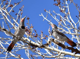 Northern flicker on Seedskadee National Wildlife Refuge. Photo by Tom Koerner/USFWS. Posted on Flickr by the US Department of the Interior; taken 4/12/17.