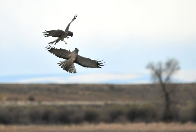 Two male northern harriers fighting over a nesting territory on the Seedskadee National Wildlife Refuge. Photo by Tom Koerner/USFWS. Tweeted by the US Department of the Interior, 3/19/17.