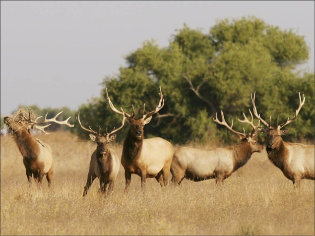Elk at Tule Elk National Wildlife Refuge. Once estimated to have a population of fewer than 30, these unique Tule elk now number more than 4,000. See them -- and other terrific wildlife -- just two hours outside of San Francisco, California. Photo by Lee Eastman, U.S. Fish and Wildlife Service. From the US Department of the Interior blog.