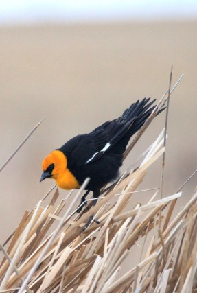 Male yellow-headed blackbirds (like this one) arrive to establish territories on wetlands ahead of the arrival of the females. Females will build a nest in vegetation (like cattails or bulrushes) over the water within a male's territory. Photo Credit: Krista Lundgren/USFWS. Photo taken on 4/18/17 and tweeted by the US Fish & Wildlife Service.