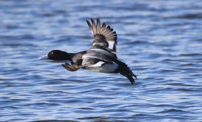 After its running-on-water takeoff, this lesser scaup raises its landing gear and flaps to gain altitude. Photo by Krista Lundgren/USFWS. Tweeted by the US Fish & Wildlife Service, 5/4/18.
