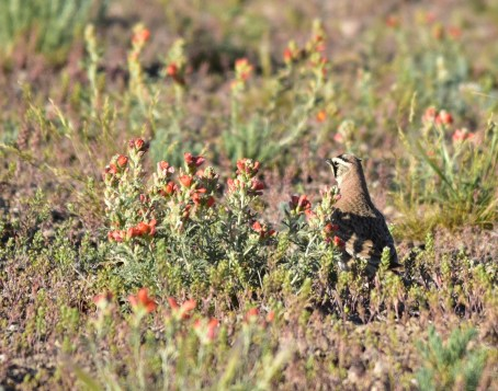 Horned lark on Seedskadee National Wildlife Refuge Photo by Tom Koerner/USFWS. Taken 6/8/17 and posted on Flickr by the US Fish & Wildlife Service.