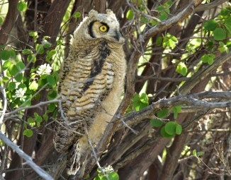 Great horned owl owlet on Seedskadee National Wildlife Refuge. Photo by Tom Koerner/USFWS. Photo taken on 5/30/17 and posted on Flickr by the US Fish & Wildlife Service.