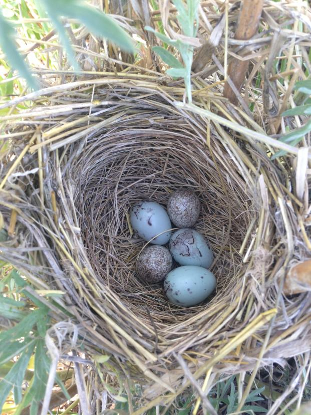 "Two of These Do Not Belong... This red-winged blackbird nest on the Baltzer WPA in the Kulm Wetland Management District has two eggs that don't belong to the blackbird. The two white and brown speckled eggs are those of a brown-headed cowbird. Female cowbirds do not build nests of their own, but rather lay their eggs in other birds' nests. Cowbirds are one of the most common ""brood parasites"". Their young are then raised by the host parents, sometimes to the detriment of their own young. Photo Krista Lundgren/USFWS. Photo taken 6/8/17 and posted on Flickr by the US Fish & Wildlife Service."