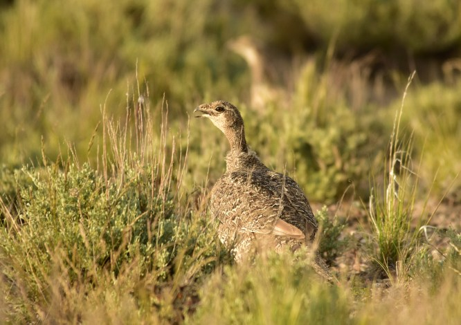 Greater sage-grouse on Seedskadee National Wildlife Refuge Photo by Tom Koerner/USFWS. Taken on 6/5/17 and posted on Flickr by the US Fish & Wildlife Service.