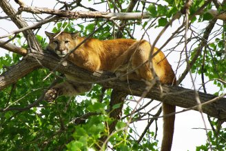 """North America doesn't have lions, but we do have the """"mountain lion"""" (a.k.a. cougar, panther or puma). Photo by Justin Shoemaker. Tweeted by the US Fish & Wildlife Service, 8/9/17."""