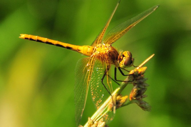 This brilliant yellow dragonfly rests on an aquatic bulrush plant. A fierce predator, it hunts mosquitoes & other insects. Photo by the USFWS. Tweeted by the US Fish & Wildlife Service, 8/4/17.