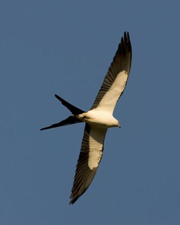 Swallow-tailed Kites winter in South America and arrive in Florida by mid- February. Nesting usually begins in Mid March. From the Everglades NP Facebook page.