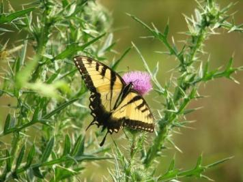Tiger Swallowtail. From the Park's website.