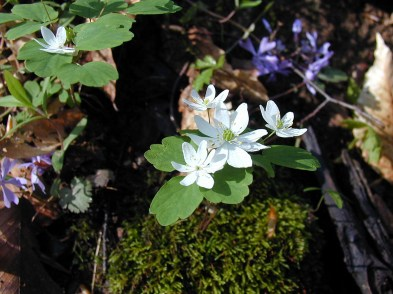Rue anemone (Anemonella thalictroides) and blue phlox (Phlox divaricata) in spring bloom. From the Park's website.