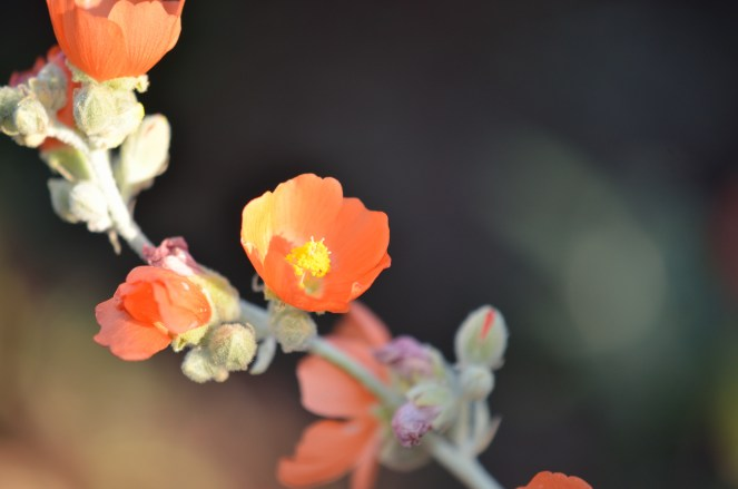 Apricot Mallow 03