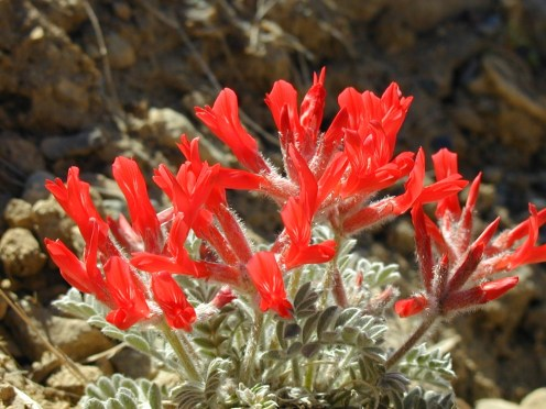 Scarlet Locoweed (Astragalus coccineus) is one of the most beautiful flowers of the Mojave Desert. From the Park's website.