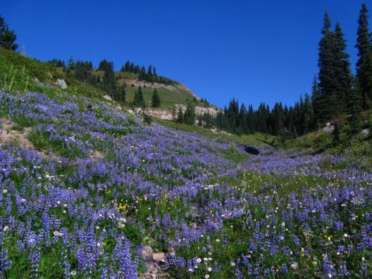 Fall is in the air but many areas of the park are still carpeted in wildflowers, like this patch of meadow along the Naches Peak Loop Trail. Look for patches of broadleaf lupine like this one blooming in areas where snow may have been late melting out. Photo taken September 6, 2012. Photo: NPS, Bev Killam. From the Park's website.