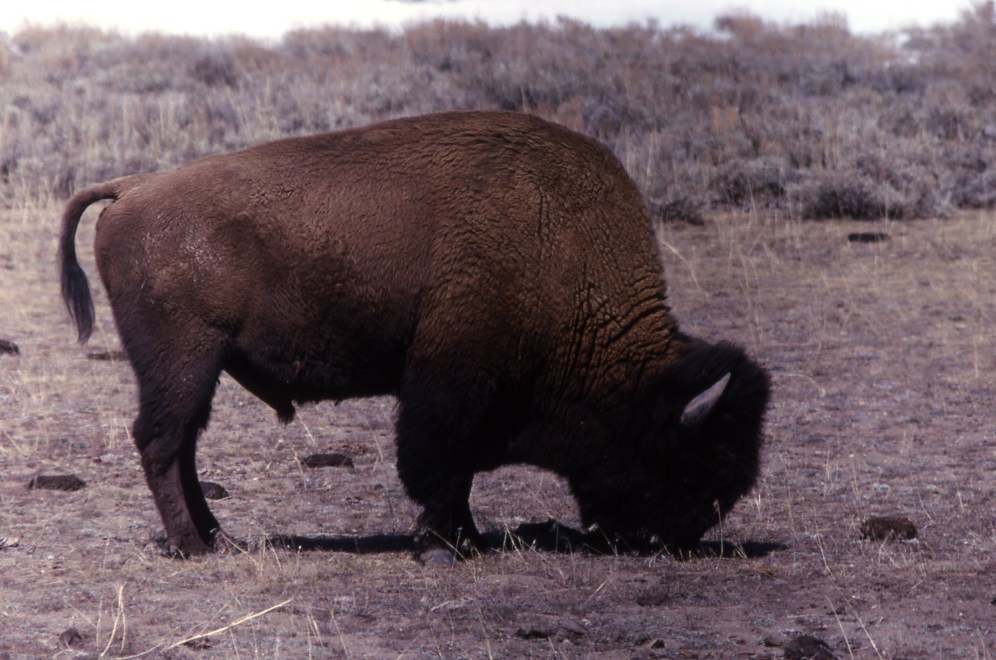 Bison. From Yellowstone National Park's website.