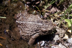 Boreal Toad. From the Yosemite National Park's website.