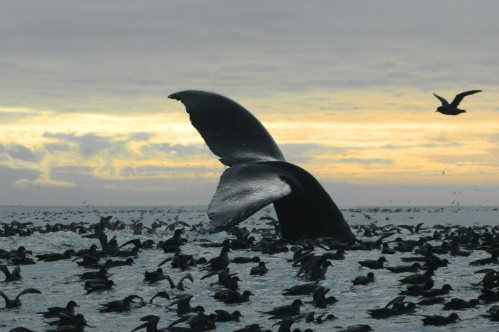 In Alaska's Bristol Bay, a humpback whale is surrounded by Shearwaters. Photo by Brenda Rone, NOAA. Posted on Tumblr by the US Department of the Interior on 12/16/14.