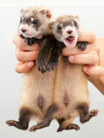 Did you know that a group of black footed ferrets is called a business? That's just one interesting fact about these endangered animals. In 1987, only 18 were known to exist. With recovery efforts led by the U.S. Fish and Wildlife Service, there could be a thousand living in the wild now. Thanks to the Black Footed Ferret Conservation Center in Colorado for their dedication to saving these unique and really cute animals. Learn more: http://on.doi.gov/1iWSu6e. Photo by Kimberly Tamkun, USFWS. Posted on Tumblr by the US Department of the Interior, 11/20/15.