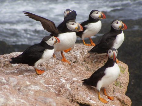 Puffins. Tweeted by the US Department of the Interior, 11/19/15.