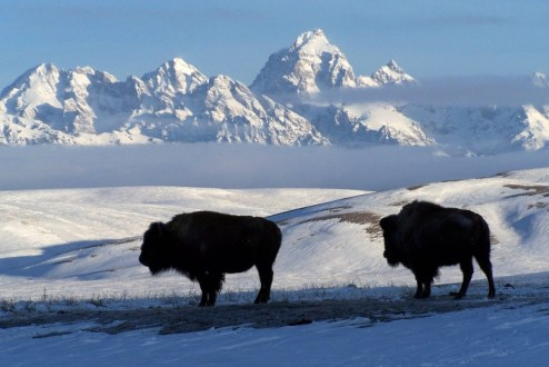 Bison standing in the snow at the National Elk Refuge in Wyoming. Photo by U.S. Fish and Wildlife Service. From the Department of the Interior blog, published 5/9/16.