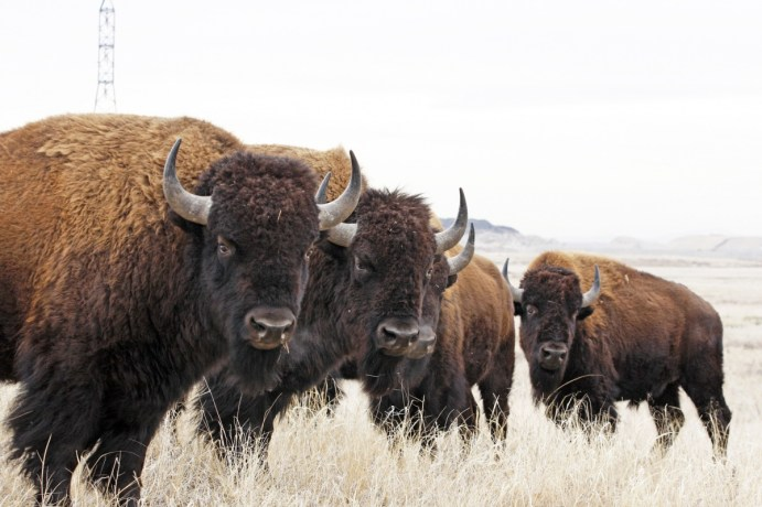 Bison at Rocky Mountain Arsenal National Wildlife Refuge in Colorado. Photo by Jim Carr, U.S. Fish and Wildlife Service. From the US Department of the Interior blog, published 5/9/16.