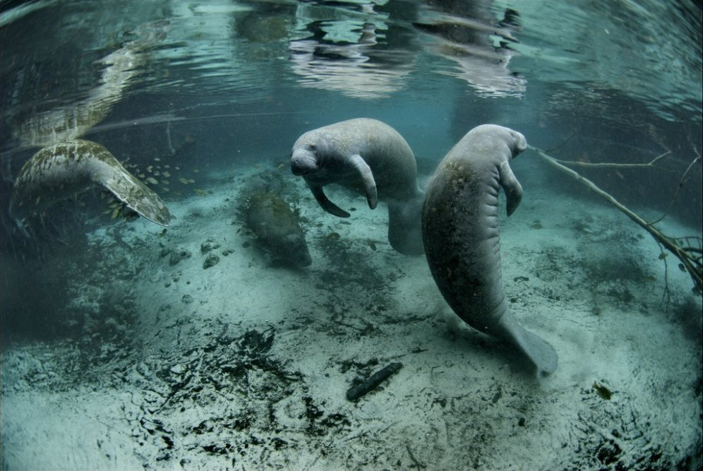 Manatees. Tweeted by the US Department of the Interior, November 2016.