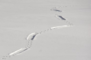 A Northern river otter leaves behind tracks in the snow on Seedskadee NWR. Hop, hop, hop, hop, slide, hop, hop, hop, slide. Photo: Tom Koerner/USFWS. Posted on Flickr by the US Fish & Wildlife Service, 1/3/17.