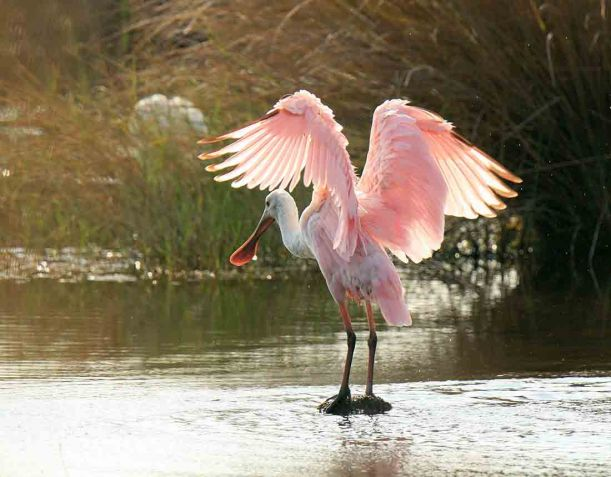 A roseate spoonbill seems to ponder its next move at St. Marks National Wildlife Refuge on Florida's northwest coast. Photo by Craig Kittendorf/USFWS. From the US Fish & Wildlife Service website.