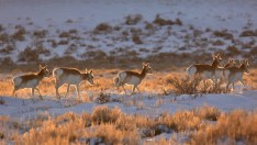 Pronghorn on Seedskadee National Wildlife Refuge Photo: Tom Koerner/USFWS. Taken on 2/28/17; tweeted by the US Fish & Wildlife Service 3/2/17.