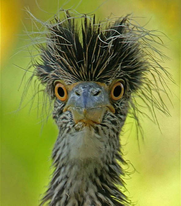 "Photo: Paul Brooke. Yellow-crowned night heron, at the J.N. ""Ding"" Darling National Wildlife Refuge in Florida. Photo by Paul Brooke from the US Fish & Wildlife website."
