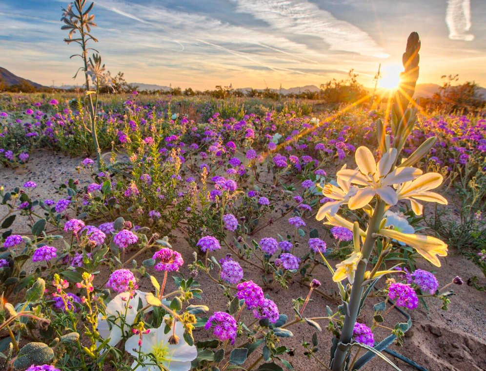 The spring bloom at Desert Lily National Monument. Photo by the National Park Service. Tweeted by the US Department of the Interior, 3/28/17.