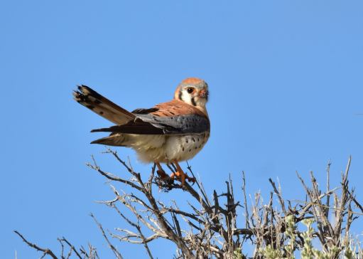 American kestrel taking in this beautiful Monday on Seedskadee National Wildlife Refuge. Posted on Facebook by the US Fish & Wildlife Service, 5/1/17.